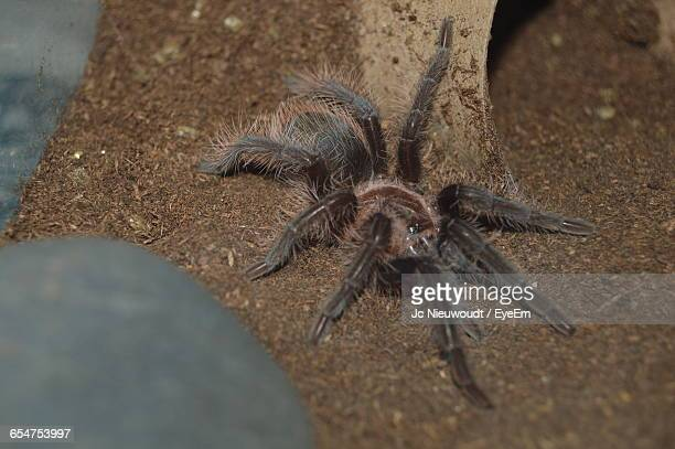 High Angle View Of Mexican Redknee Tarantula On Field