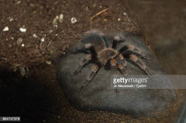 High Angle View Of Mexican Redknee Tarantula On Rock