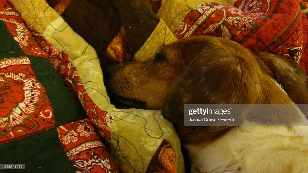 High Angle View Of Miniature Dachshund Sleeping On Bed : Stock Photo