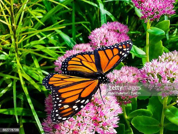 Monarch Butterfly Stock Photos And Pictures