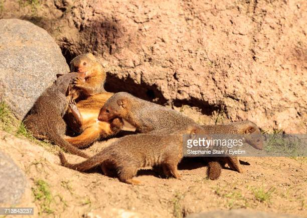 High Angle View Of Mongooses On Field