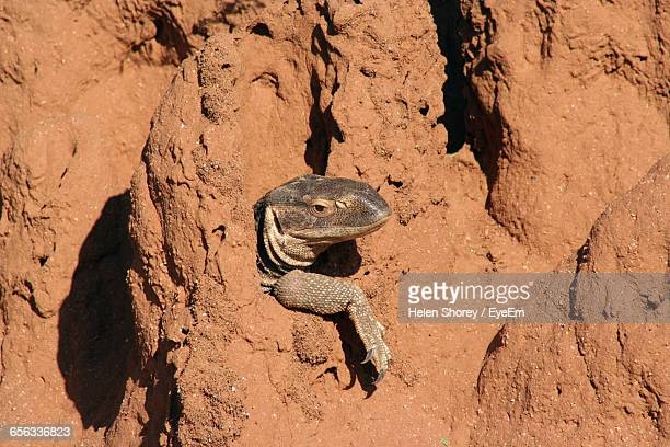 High Angle View Of Monitor Lizard Peeking Out Of Shelter