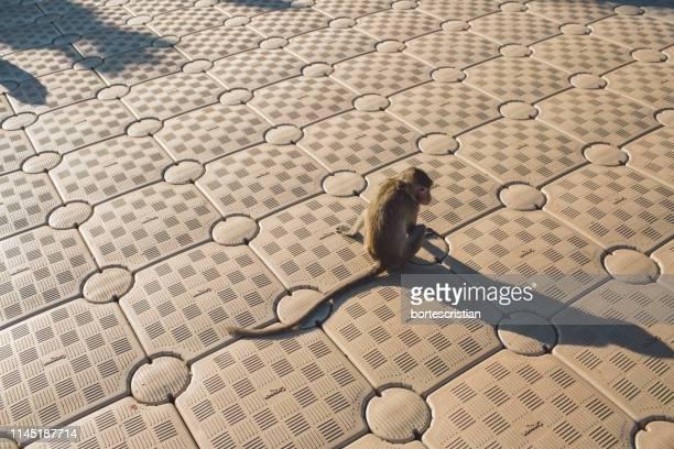 high angle view of monkey on footpath - bortes imagens e fotografias de stock