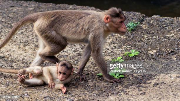 high angle view of monkey with infant on field - herbivorous stock photos and pictures