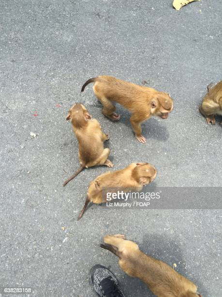high angle view of monkeys - monkey shoes stock photos and pictures
