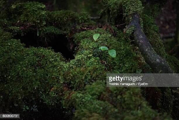 High Angle View Of Moss Growing On Wood In Forest