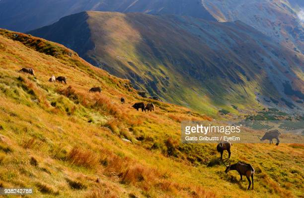 High Angle View Of Mountain Goats Grazing On Grassy Field
