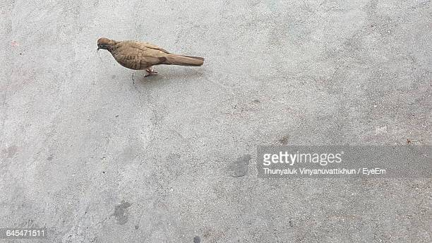 High Angle View Of Mourning Dove Standing On Concrete Floor