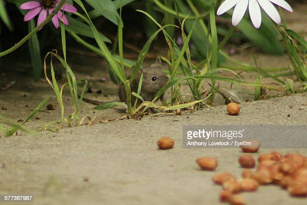 High Angle View Of Mouse By Grass And Peanuts On Field