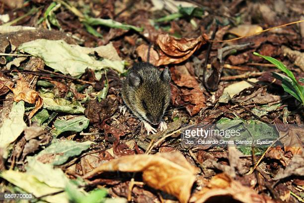 high angle view of mouse on field at forest - field mouse fotografías e imágenes de stock