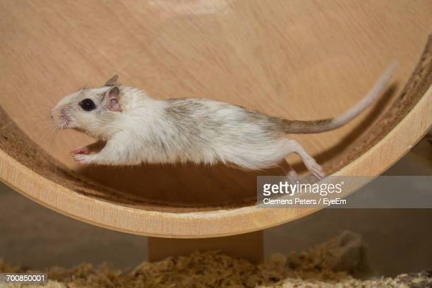 High Angle View Of Mouse Running