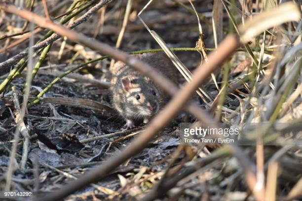 high angle view of mouse standing on field - field mouse photos et images de collection