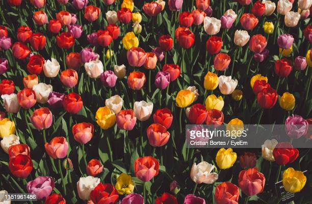 high angle view of multi colored tulips - bortes stock-fotos und bilder