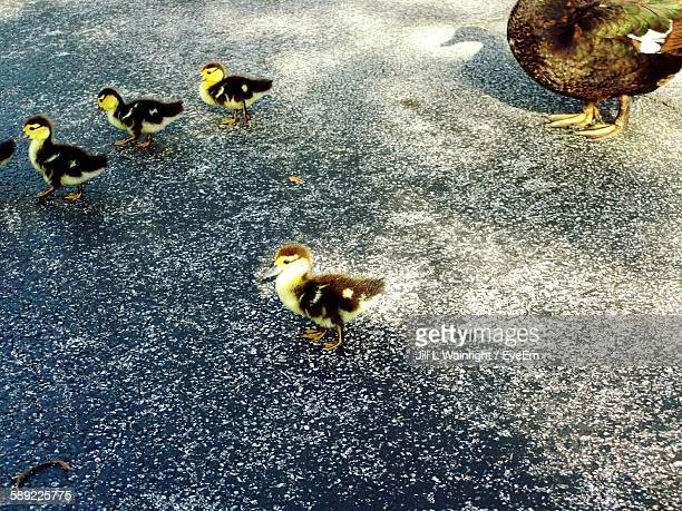 high angle view of muscovy duck family - muscovy duck stock pictures, royalty-free photos & images