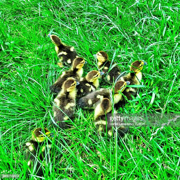 high angle view of muscovy ducklings on grassy field - muscovy duck stock pictures, royalty-free photos & images