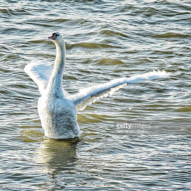High Angle View Of Mute Swan In Lake