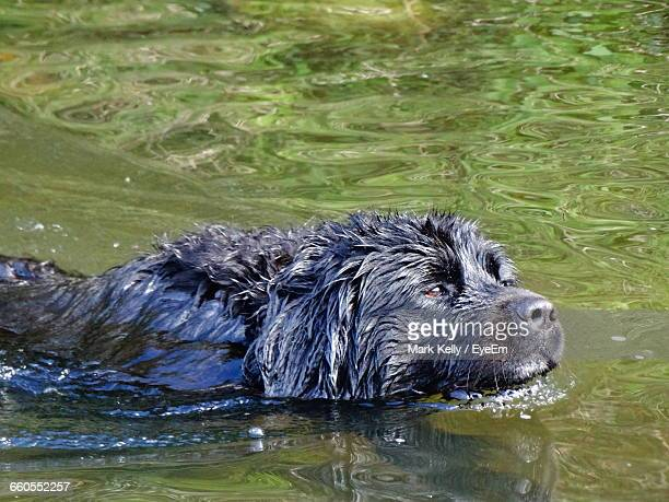 High Angle View Of Newfoundland Dog Swimming In Lake