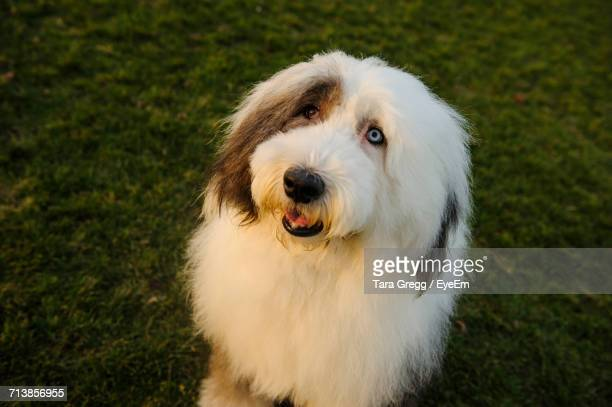 High Angle View Of Old English Sheepdog Sitting On Field