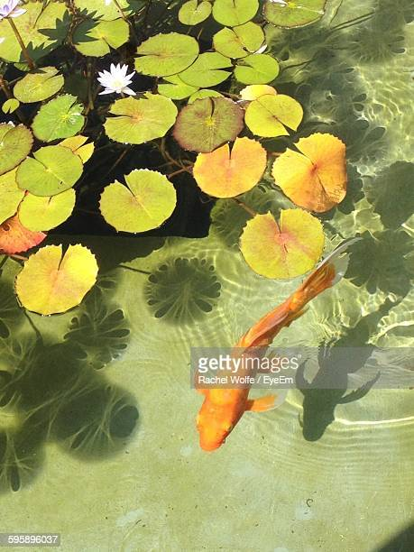 high angle view of orange fish swimming in pond by plants - rachel wolfe stock pictures, royalty-free photos & images
