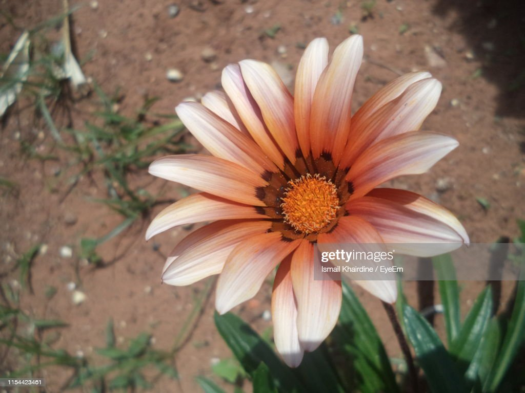 High Angle View Of Orange Flower On Land : Stock Photo