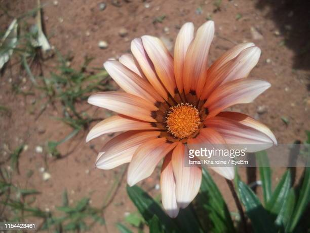 high angle view of orange flower on land - ismail khairdine stock photos and pictures