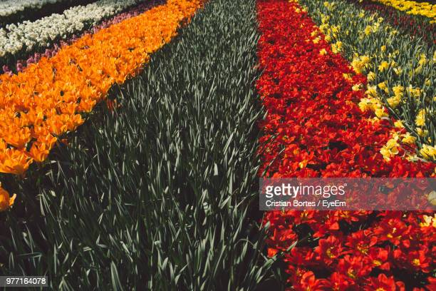 High Angle View Of Orange Flowering Plants On Field