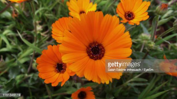 high angle view of orange flowering plants - salah stock photos and pictures