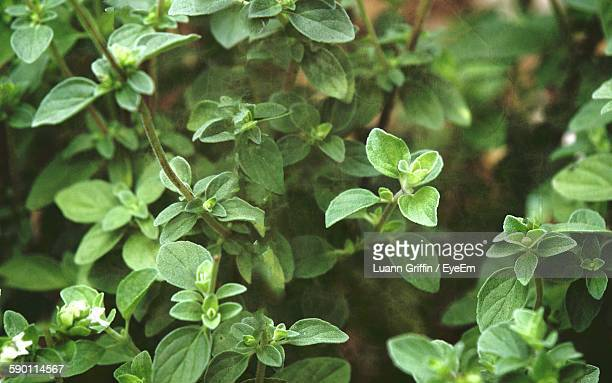 High Angle View Of Oregano Plants