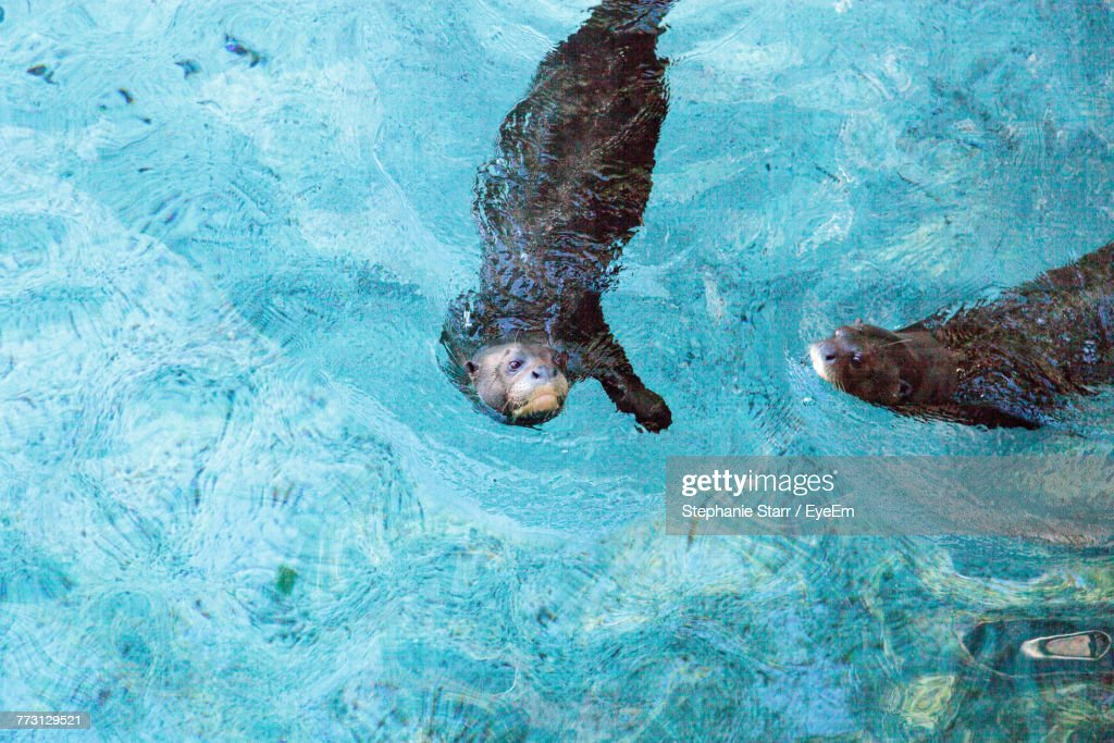 High Angle View Of Otters Swimming In River : Photo