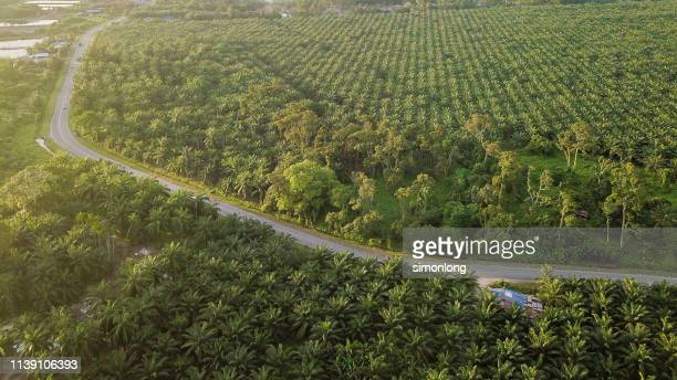 high angle view of palm tree plantation - palm oil stock pictures, royalty-free photos & images