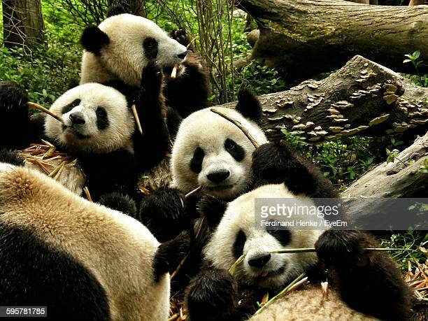 High Angle View Of Pandas In Forest