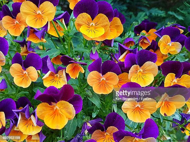 High Angle View Of Pansies Blooming Outdoors