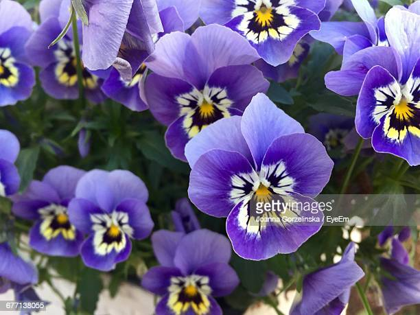 high angle view of pansy flowers blooming outdoors - pansy stock pictures, royalty-free photos & images