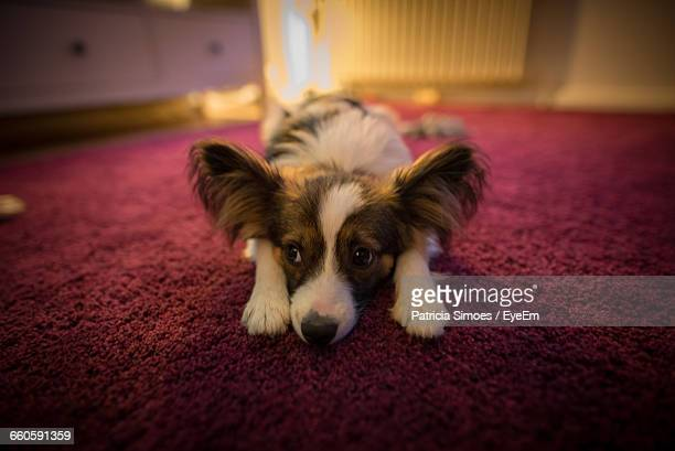 high angle view of papillon dog resting on carpet - papillon dog stock photos and pictures