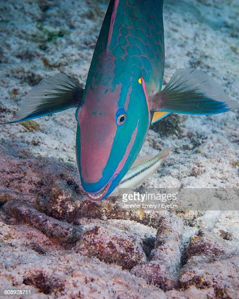 High Angle View Of Parrotfish Swimming In Sea