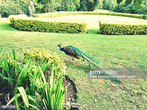 high angle view of peacock at park - cuernavaca stock photos and pictures