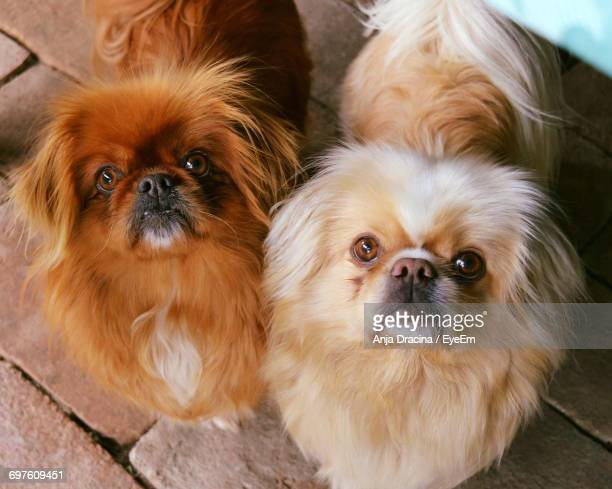 High Angle View Of Pekingese Dogs On Paving Stone