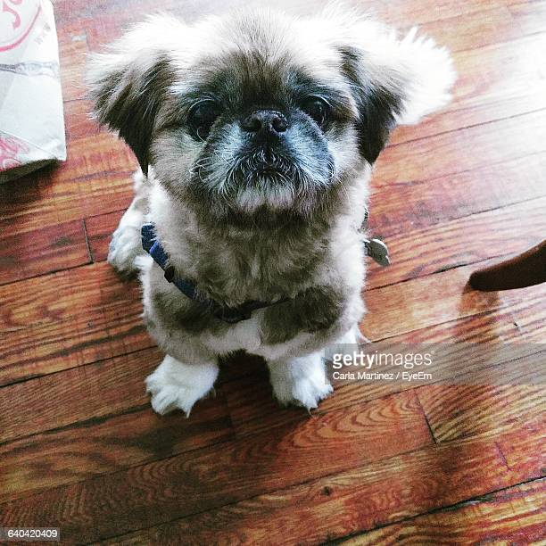 High Angle View Of Pekingese Puppy Sitting On Floorboard At Home