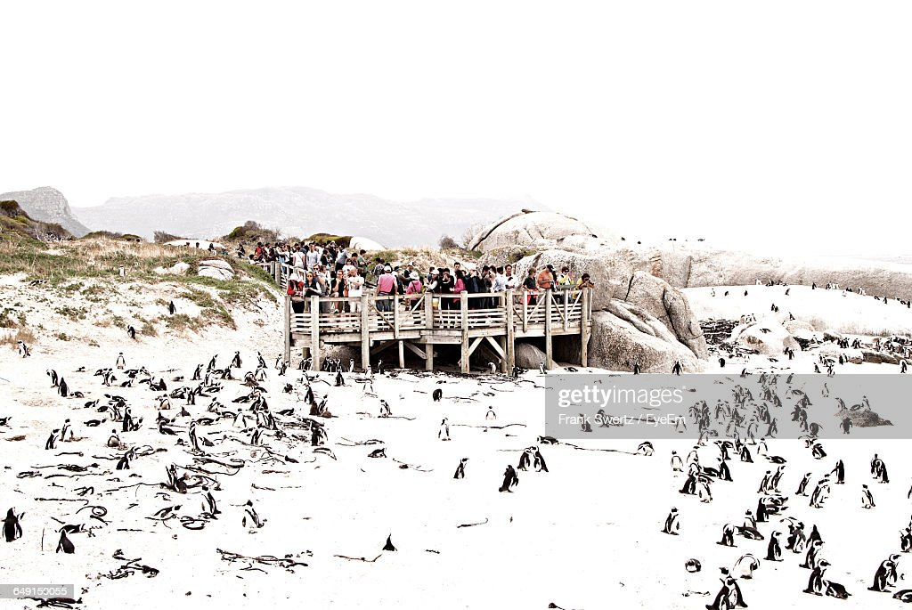 High Angle View Of Penguins At Snow Covered Beach Against Clear Sky : Stock-Foto