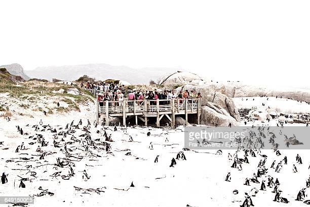 high angle view of penguins at snow covered beach against clear sky - frank swertz stock pictures, royalty-free photos & images
