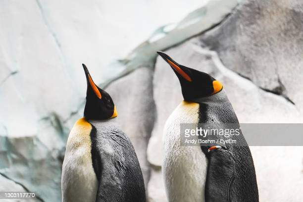 high angle view of penguins on snow - two animals stock pictures, royalty-free photos & images