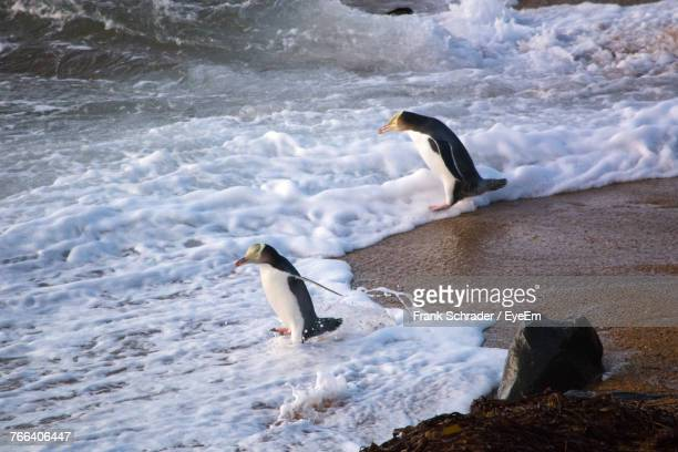 High Angle View Of Penguins Walking At Beach