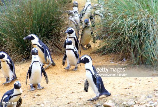 High Angle View Of Penguins Walking On Field
