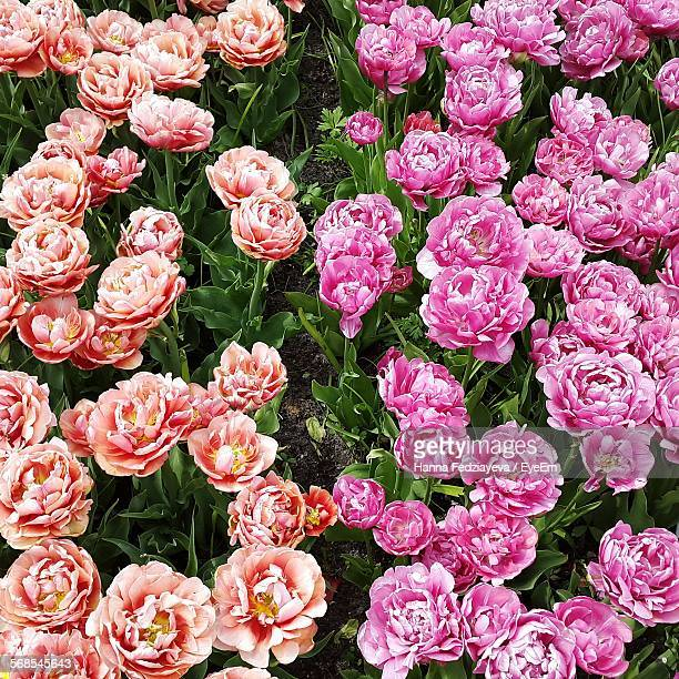 High Angle View Of Peonies Blooming On Field