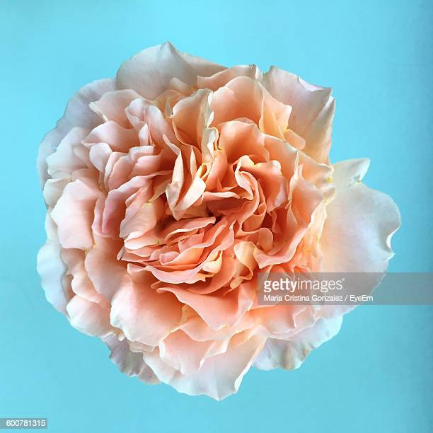 high angle view of peony blooming against blue background - peonia foto e immagini stock