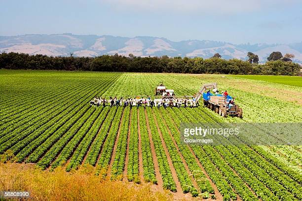 high angle view of people working on a farm, los angeles, california, usa - farm workers california ストックフォトと画像