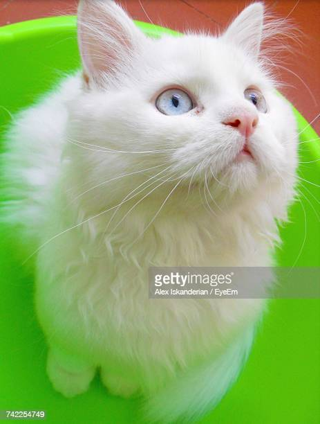 High Angle View Of Persian Cat In Bucket