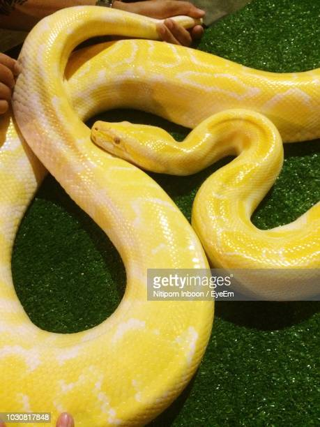 high angle view of person sitting with burmese python on grass - yellow burmese python stock pictures, royalty-free photos & images