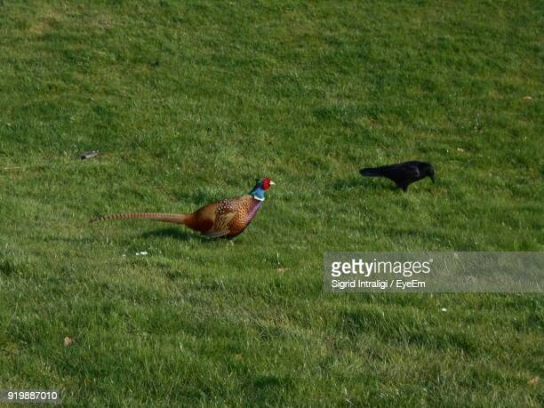 High Angle View Of Pheasant And Crow On Grassy Field