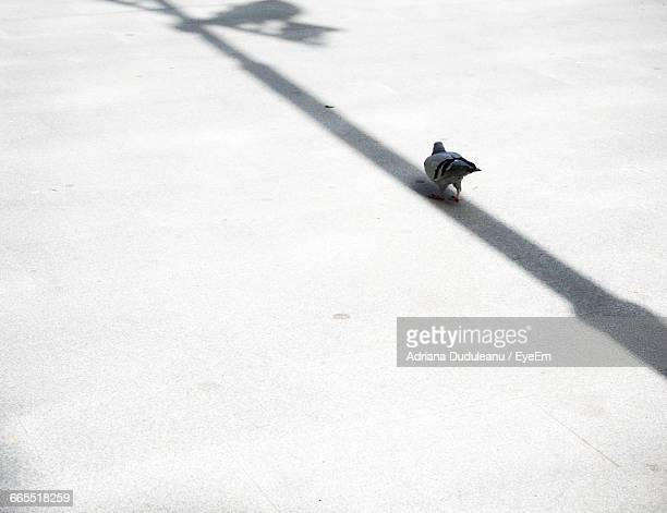 high angle view of pigeon on street - adriana duduleanu stock photos and pictures